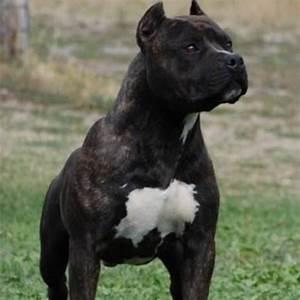 Ich Suche Einen Großen Hund : hallo ich wollte fragen wo ich einen american staff hund ~ Jslefanu.com Haus und Dekorationen