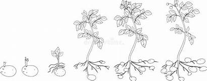 Plant Coloring Cycle Potato Growth Root Illustration