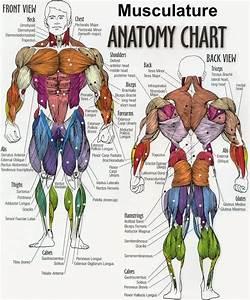 Back Muscles Anatomy Chart Female Back Muscle Anatomy ...