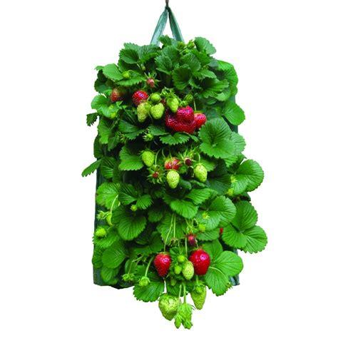 quand planter fraisier en pot koop uw hangzak voor aardbeien set 2 bij dezaden nl