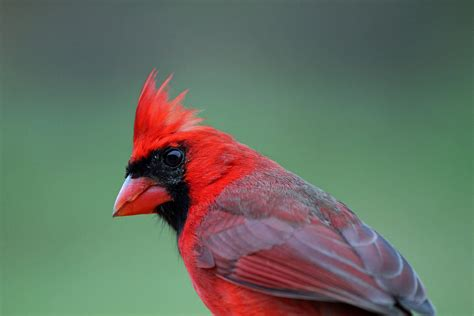 color cardinal northern cardinals how to shake their feathers