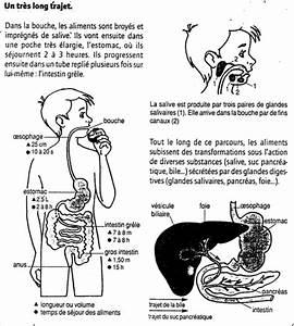 Calcul Temps De Trajet : l 39 appareil digestif ~ Medecine-chirurgie-esthetiques.com Avis de Voitures