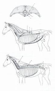 Vertebral Muscles Of The Horse  Top Figure  Transverse