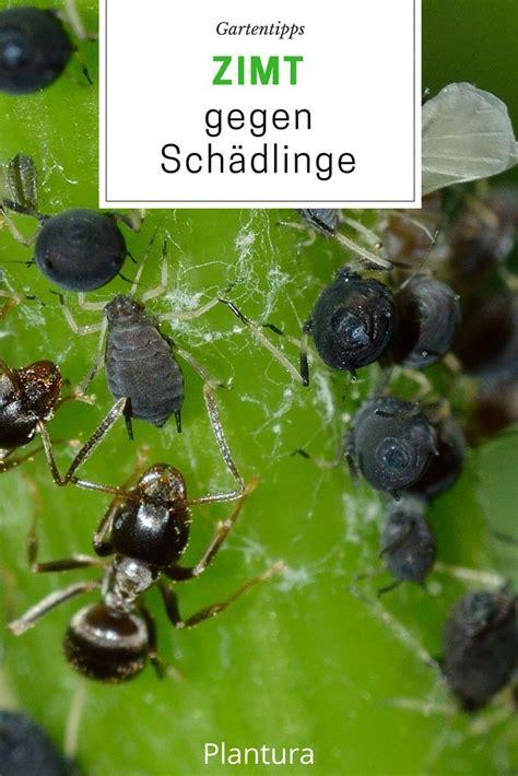 Zimt Gegen Pilze Im Garten by Zimt Im Garten Zimt Als Pflanzenschutz Und Gegen Ameisen