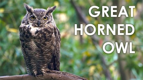 great horned owl sound  youtube