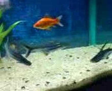 my freshwater aquarium sharks