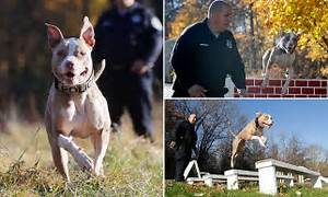 NYPD recruits PIT BULL as its latest police dog but claims ...