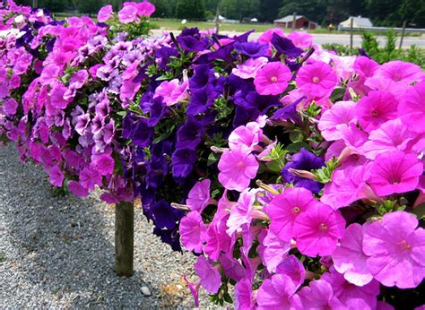 petunia flower information petunia fast facts garden guides