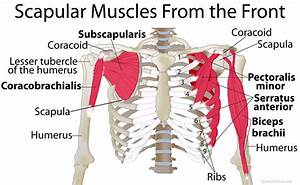 Scapula (Shoulder Blade) Anatomy, Muscles, Location ...