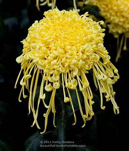 chrysanthemums :: Beautiful Flower Pictures Blog