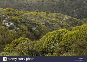 Euphorbia Plant Habitat Natural Stock Photos & Euphorbia ...