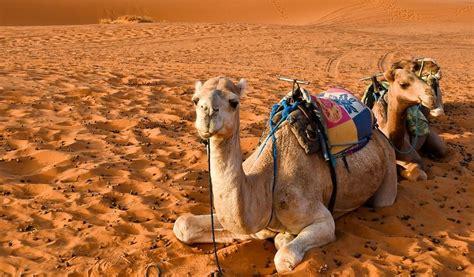 25 Datos curiosos que no sabías sobre los camellos ...