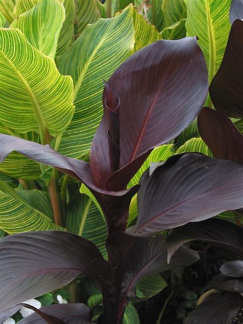 25+ Best Ideas About Canna Lily On Pinterest  Tiger Lily
