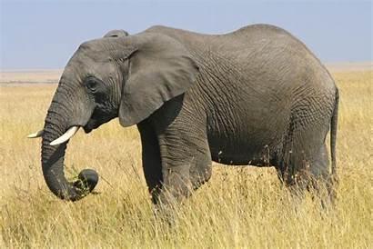Elephant African Mozambique Animal National Bush Animals