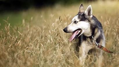 Dog Desktop Wallpapers Happy Shepherd German Dogs