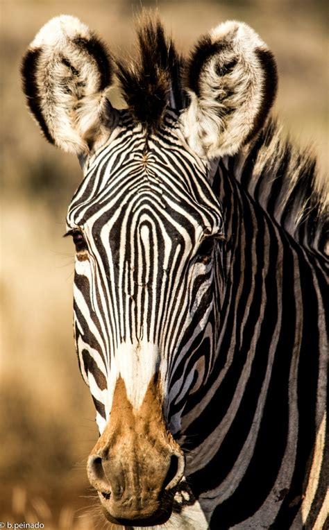 zebra zebras horses related horse pet animal