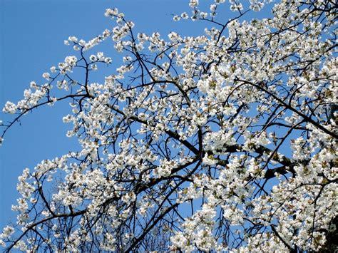 รูปภาพ : สาขา, ปลูก, ขาว, ดอกไม้, เบ่งบาน, ฤดูใบไม้ผลิ ...