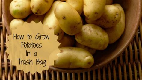 growing potatoes   trash bag