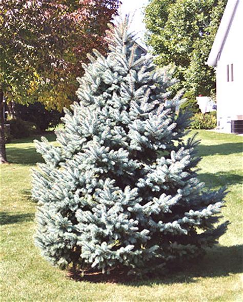 buying a christmas tree to plant