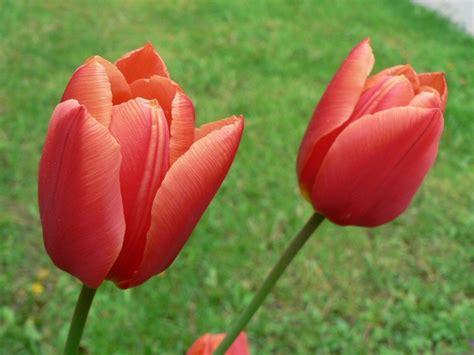 tulip pictures tulip flower pictures romantic flowers tulip flower