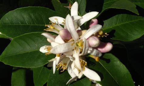 fiori limone fragole infinite fior di limone