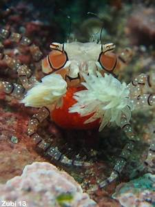 True Crabs  Brachyura