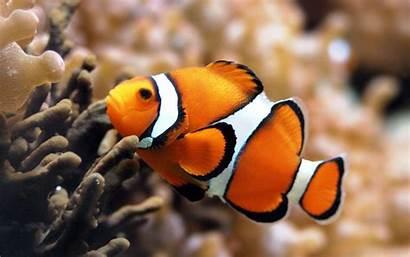 Wallpapers Clown Fish Clownfish