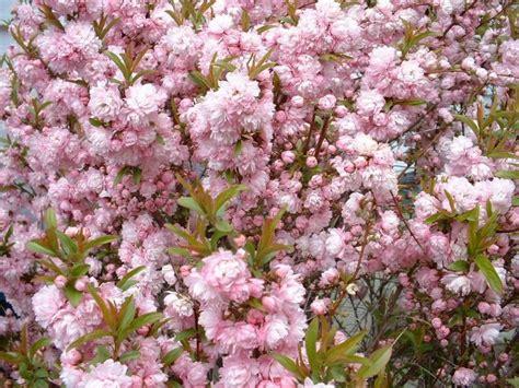 pink flowering bush blooming shrubs the super eight of spring watters garden center