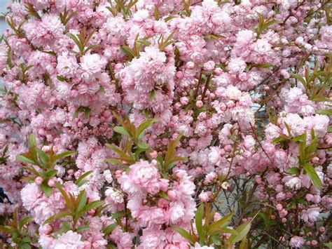 As the tree ages, it exhibits a scaly or flaky pattern. Pink Flowering Almond in Spring - Watters Garden Center