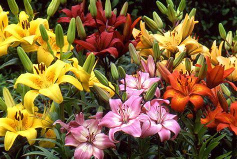 outdoor lilies asiatic lily lilium asiaticum mygarden org