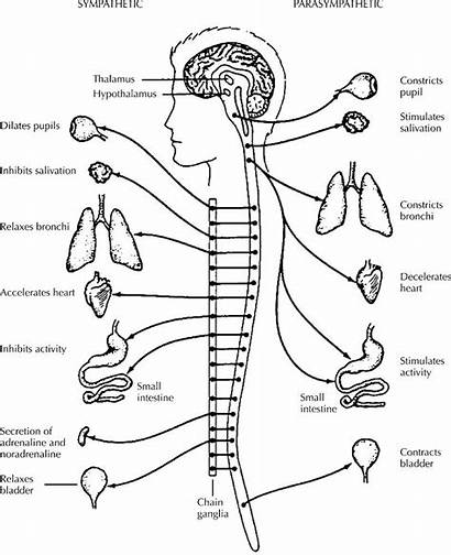 Nervous System Coloring Pages Muscular Drawing Anatomy