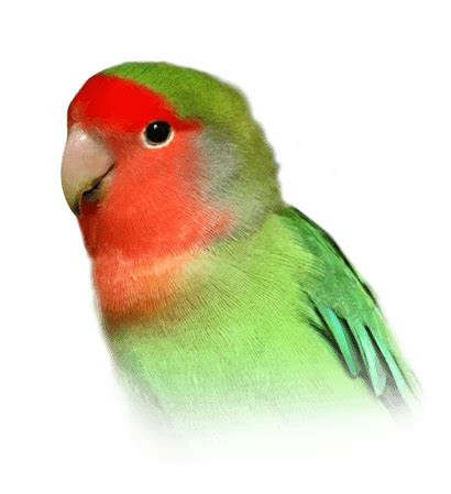 Peach-Faced Lovebird Personality, Food & Care – Pet Birds ...