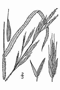 Bromus marginatus Mountain Brome PFAF Plant Database