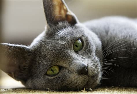 non shedding cats 10 hypoallergenic cat breeds iheartcats