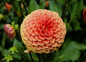 free stock photo of up dahlia flower