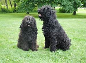 Barbet - Puppies, Rescue, Pictures, Information ...