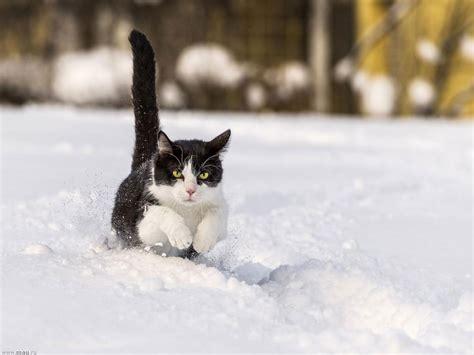 Фотогалерея Снежные кошки Забавные фото кошек