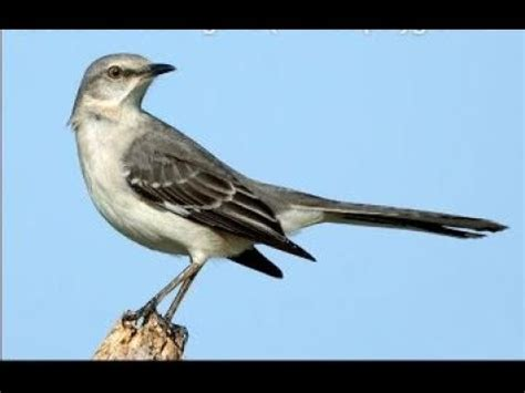 northern mockingbird mimus polyglottos singing  night