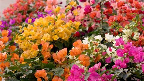 comment faire fleurir un bougainvillier en pot suppl 233 ment au voyage d un bougainvillier