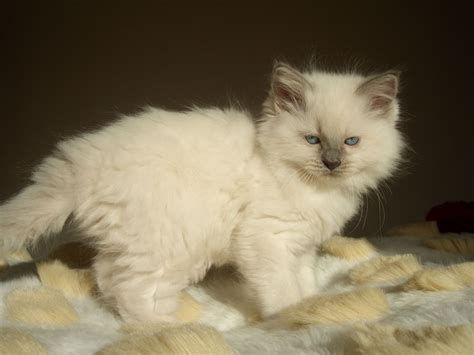 Pedigree Ragdoll Kittens For Sale  Market Drayton