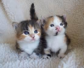 Munchkin Calico Cats Kittens