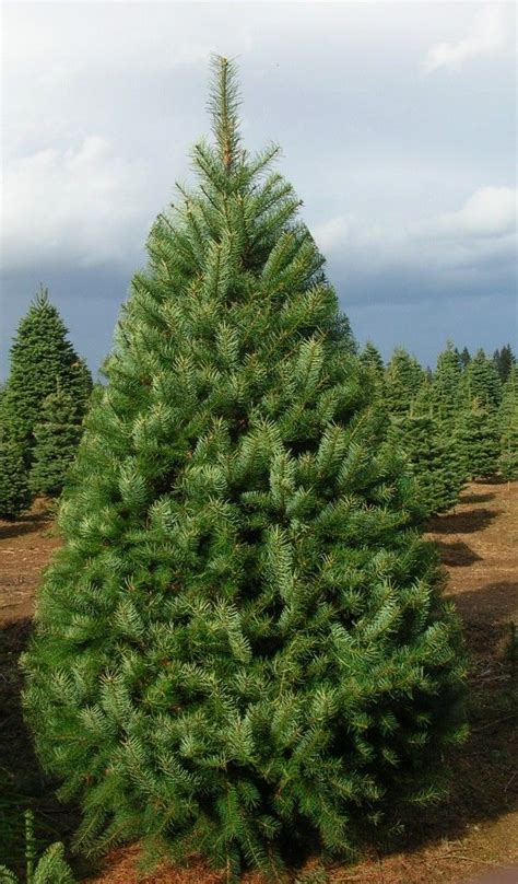fresh christmas trees images  pinterest