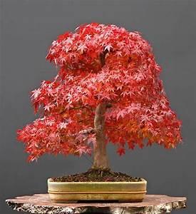 Scarlet Maple Tree Promotion-Shop for Promotional Scarlet ...