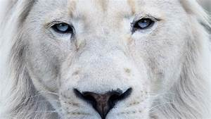 Image Gallery lion blue eyes