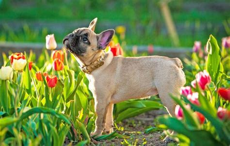 franzoesische bulldogge agila