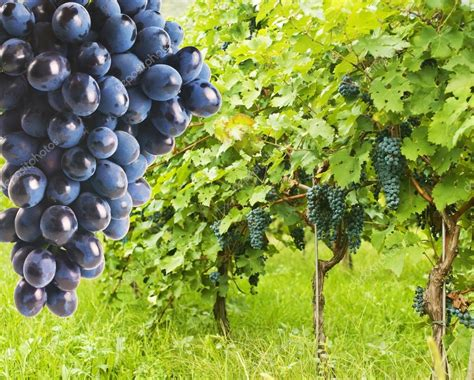 picture of grapes on a vine several bunches of ripe grapes on the vine stock photo 169 ulkan 34653737