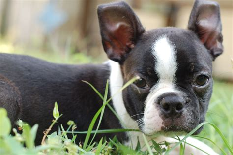 Red Boston Terrier Puppies