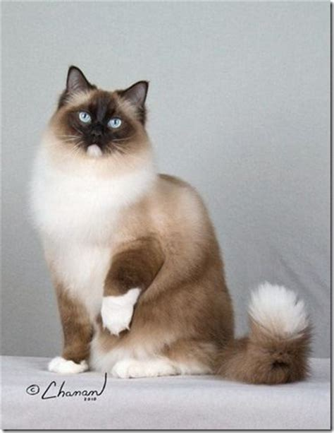 58 Best Images About Ragdoll Cats On Pinterest  Young And