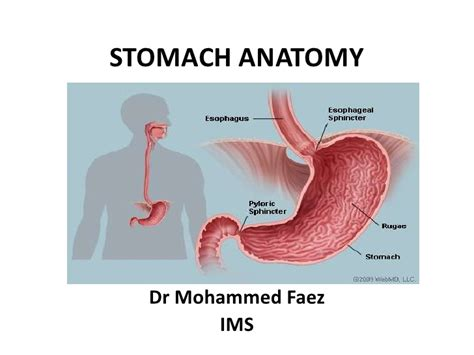 Diagram Of Stomach And by 1 Stomach