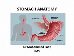 1 Stomach  Stomach